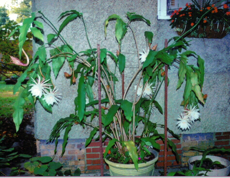 Night blooming cereus care arizona queen of the night care and bloom pictures of my night blooming cyrus mightylinksfo