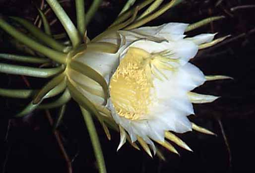Night Blooming Cyrus - Night Blooming Cereus - Arizona Queen of ...